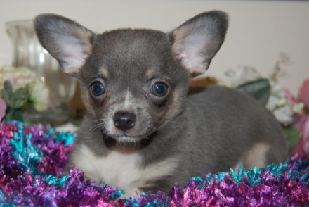 Blue chihuahua puppy with blue eyes