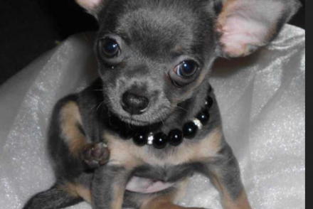 Blue Chihuahua Teacup