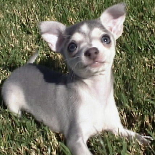 Blue Chihuahua Pup 9 weeks