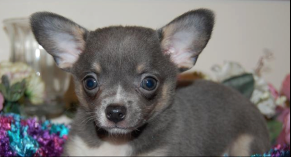 What Is A Blue Chihuahua?