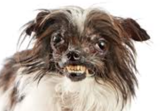 Ugly Chihuahua Dogs