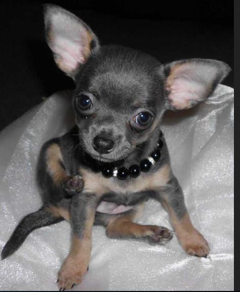 Blue Teacup Chihuahua